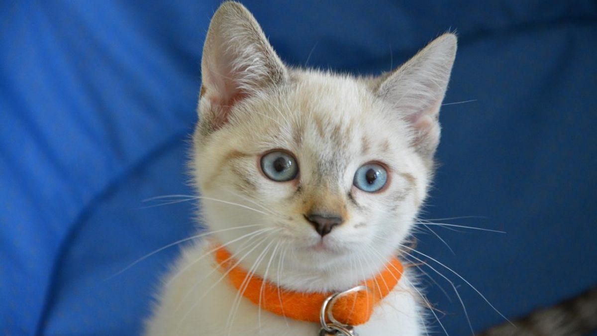 Szelki oraz smycz dla kota – jakie wybrać, kupić?
