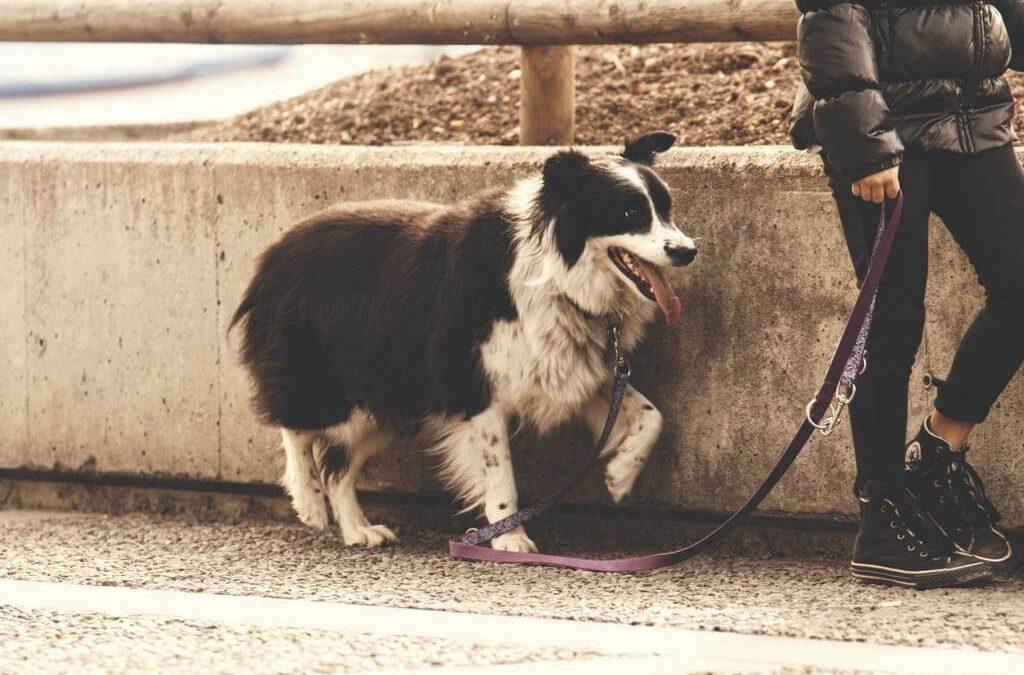 Jaką smycz dla psa kupić? Smycz dla psa automatyczna, oraz smycz regulowana