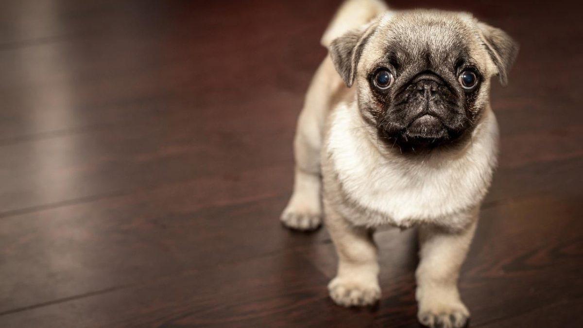 Dlaczego pies szczeka? O zachowaniach i szczekaniu psa