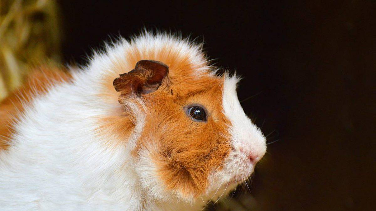 Karma dla świnki morskiej – jaką kupić? Wybieramy najlepszy pokarm dla świnki morskiej