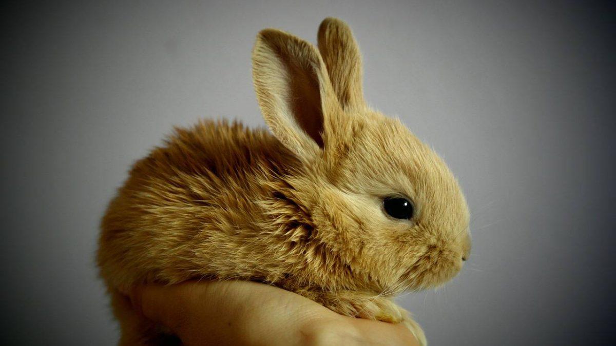 Karma dla królika – jaką kupić? Wybieramy najlepszy pokarm dla królika