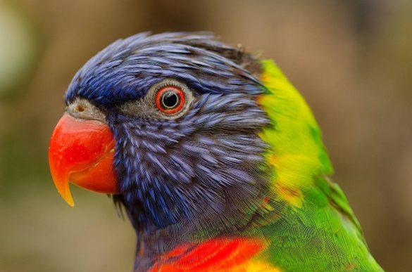 najlepsza karma dla papugi
