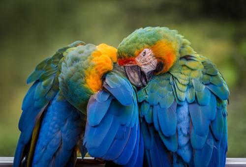 najlepszy pokarm dla papugi